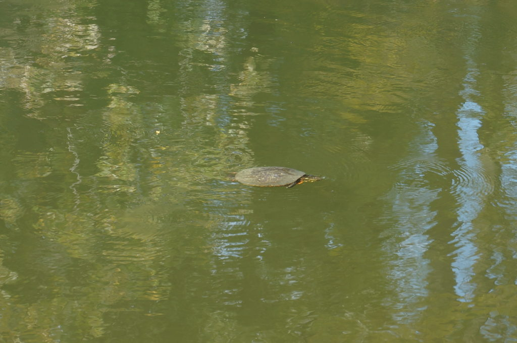 Turtle in river